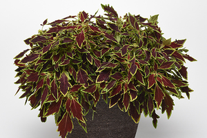 Coleus Flamethrower Spiced Curry - Chiller